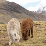 Llamas and Lost Words – 5 Stories from South America